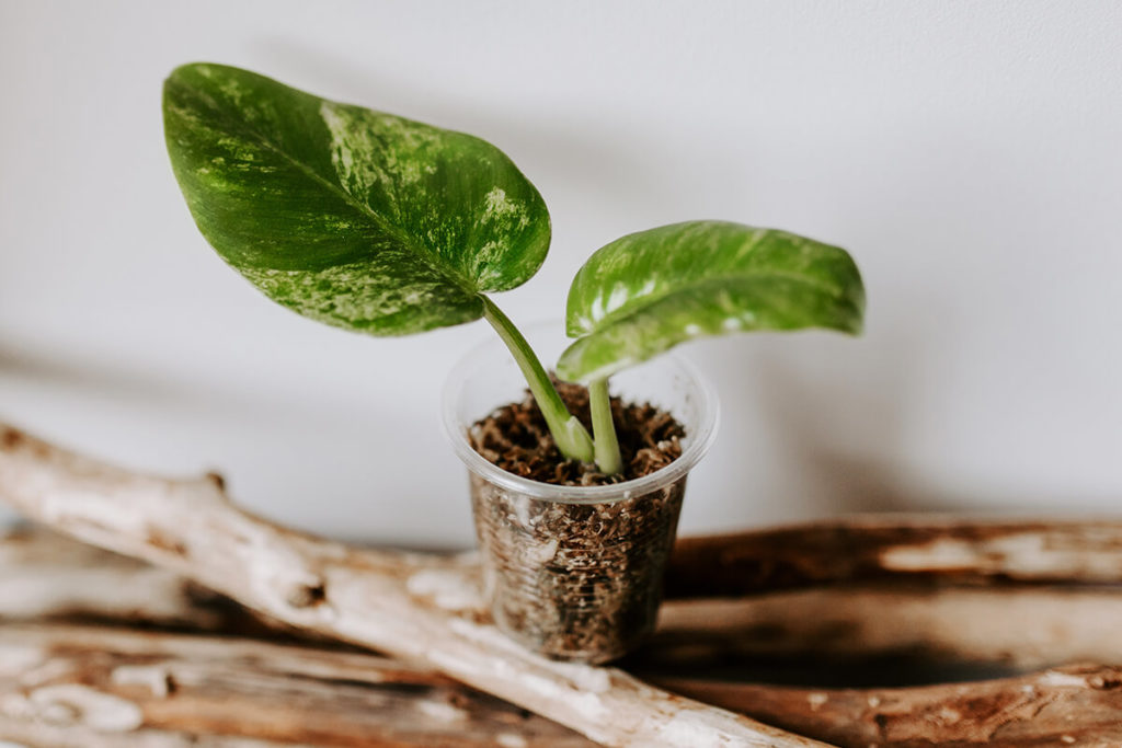 Jak ukorzeniać rośliny w mchu Spagnum (2)