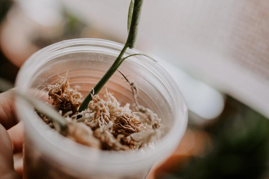 Jak ukorzeniać rośliny w mchu Spagnum (3)