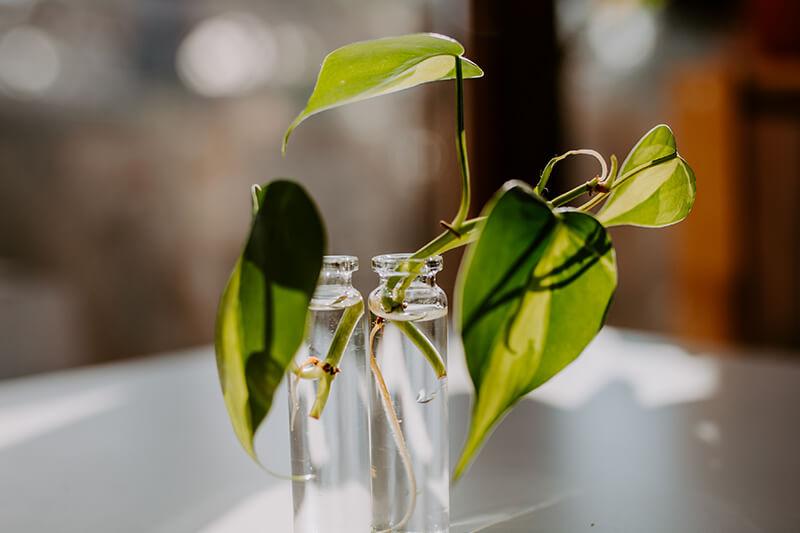jak ukorzeniać rośliny w wodzie 3