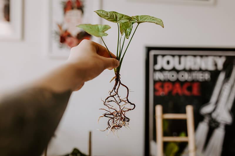 Jak posadzić roślinę w hydroponice