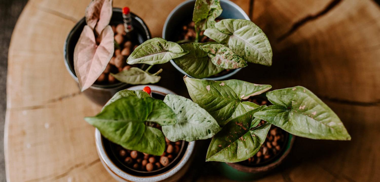 Jak przenieść roślinę do hydroponiki (1)
