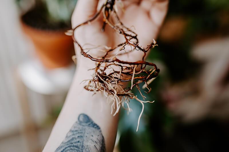 Jak przenieść roślinę do hydroponiki (6)