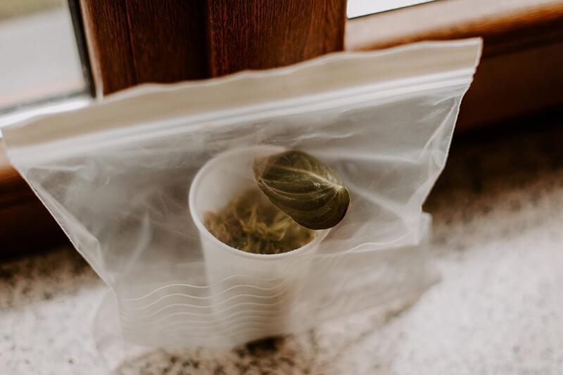 Jak wyhodować roślinę z ogryzka (6)