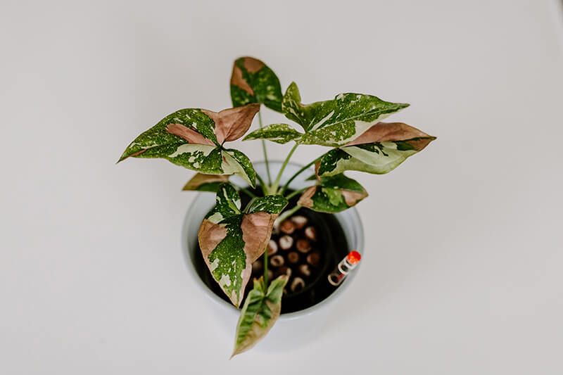 Syngonium red spot tricolor