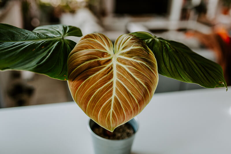 Philodendron el choco red_22