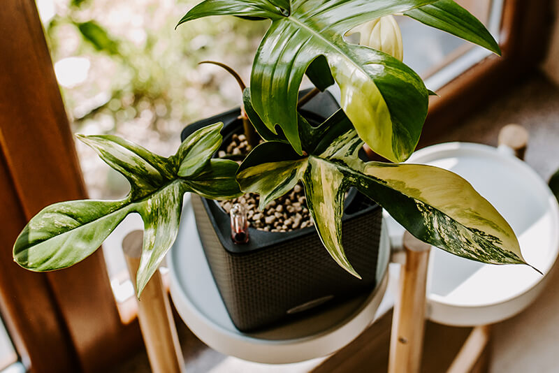 Philodendron florida beuty_22