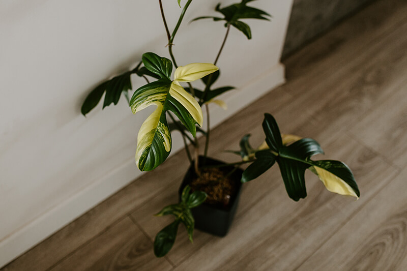 Philodendron florida beuty_23