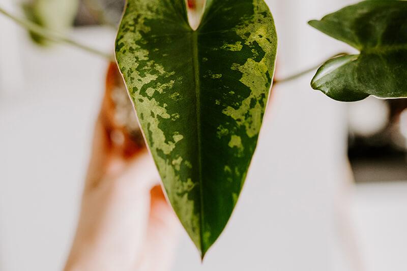 rzadkie rośliny kolekcjonerskie_2