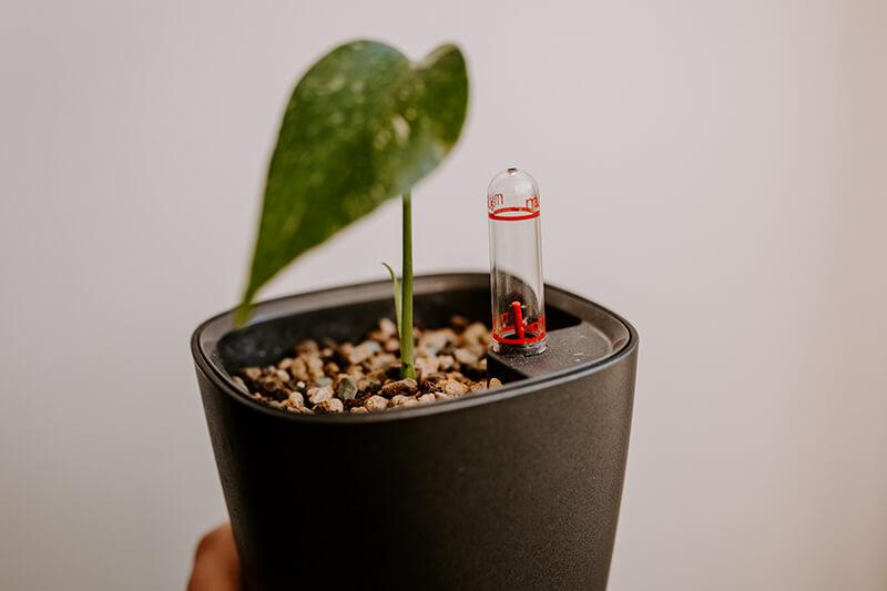 Czemu korzenie gniją