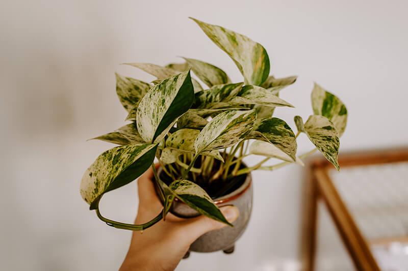 Gnicie korzeni rośliny doniczkowej