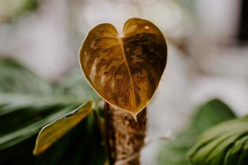 Philodendrony gatunki kolekcjonerskie (11)