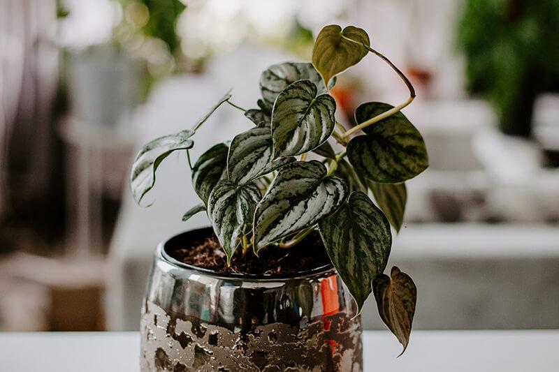 Philodendrony gatunki kolekcjonerskie (12)