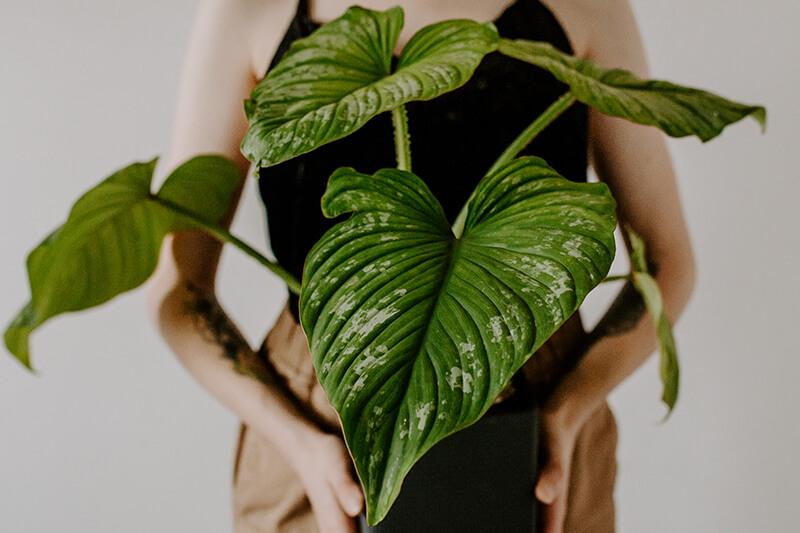 Philodendrony gatunki kolekcjonerskie (13)