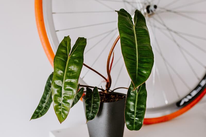 Philodendrony gatunki kolekcjonerskie (2)