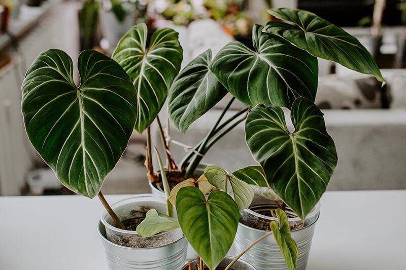 Philodendrony gatunki kolekcjonerskie (4)