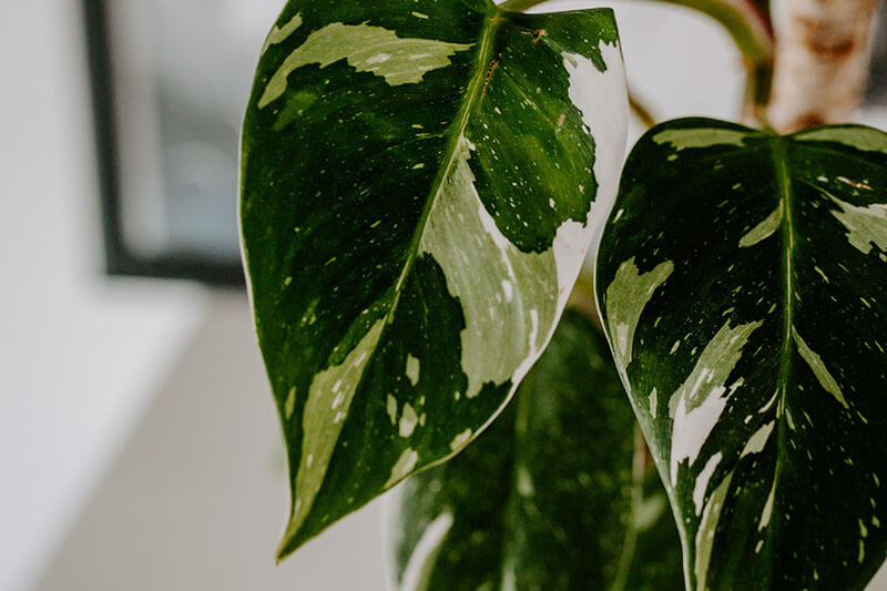 Philodendrony gatunki kolekcjonerskie (8)