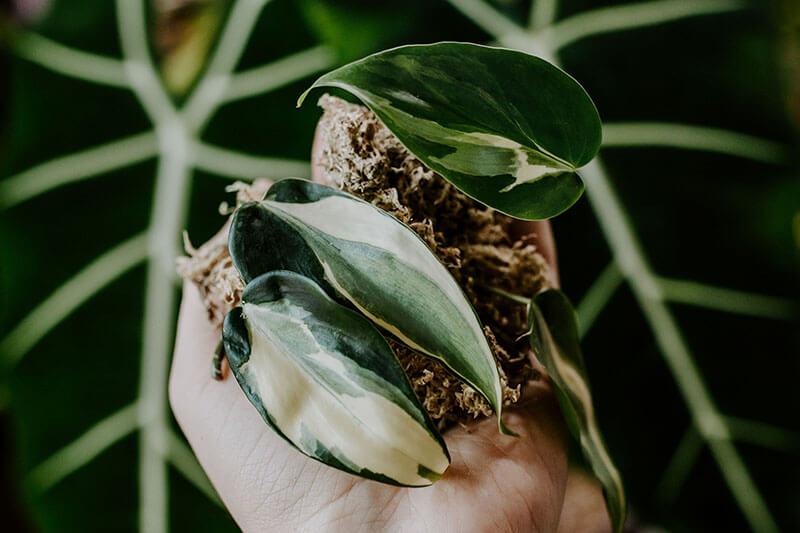 Philodendrony gatunki kolekcjonerskie (9)